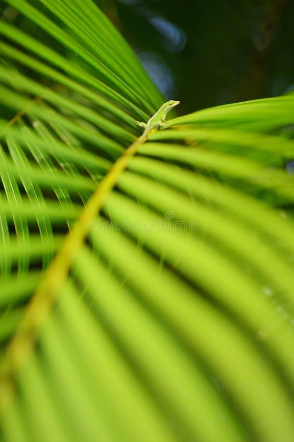 Gecko, der auf grünem tropischem Blatt sich entspannt Üppige tropische Vegetation der Inseln von Hawaii lizenzfreie stockfotos