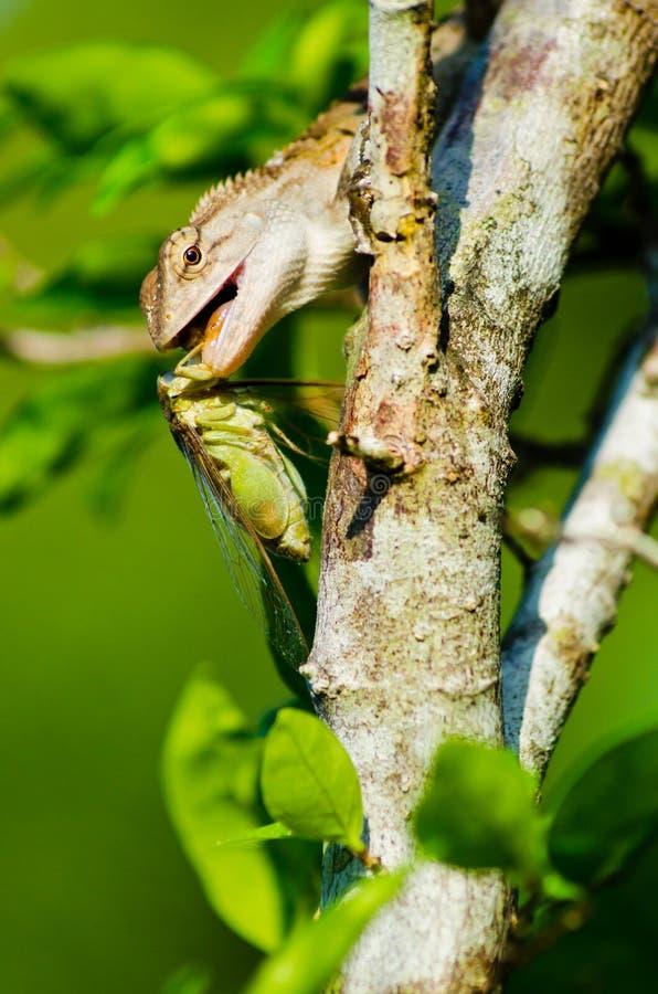 Gecko, der großes Insekt isst stockfotos