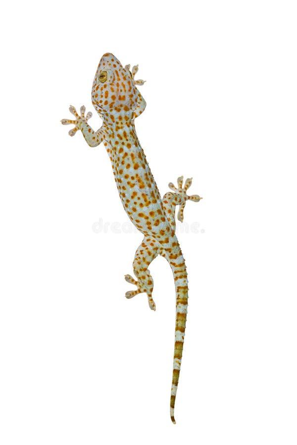 Gecko di Tokay fotografia stock