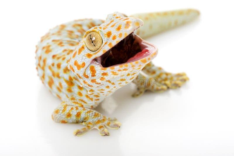 Gecko di Tokay immagine stock