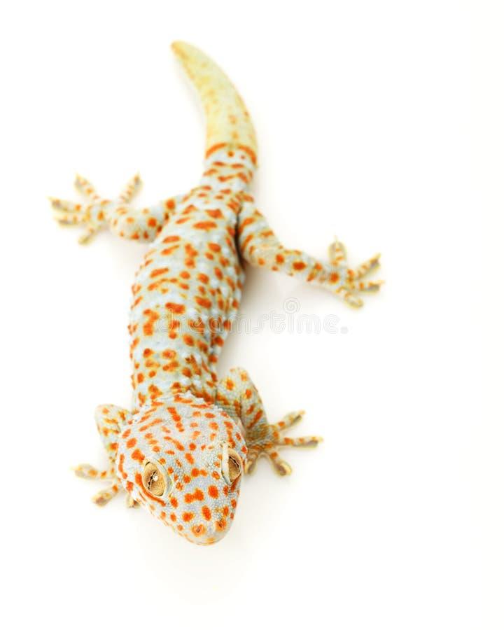 Gecko di Tokay fotografie stock
