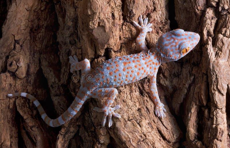 Gecko di Tokay del bambino sull'albero fotografia stock libera da diritti