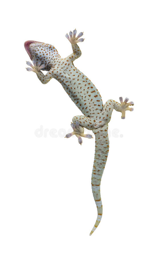 Gecko di Tokay - gecko di Gekko immagine stock