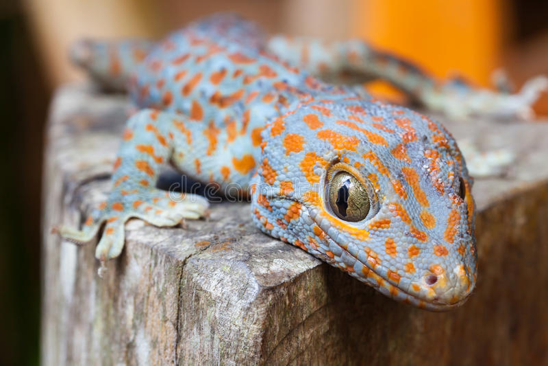 Gecko di Tokay, gecko di Gekko immagine stock libera da diritti