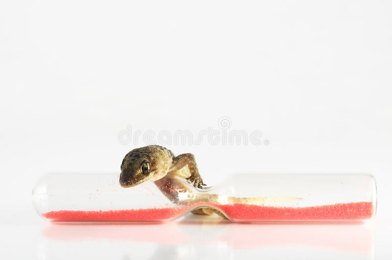 Gecko?dla och timglas royaltyfri bild