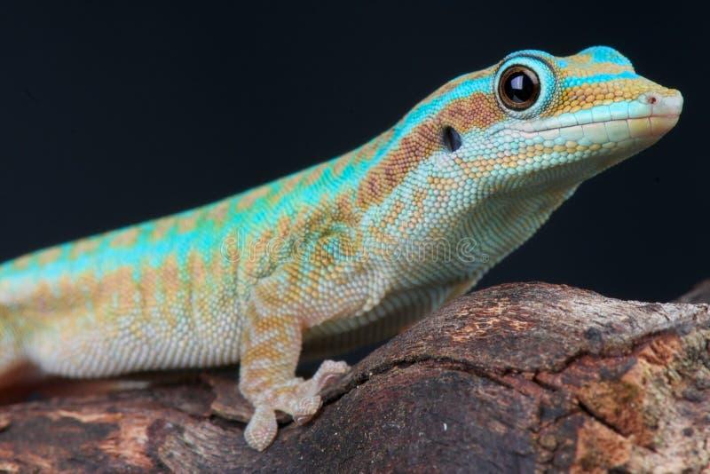 Gecko do dia de Reunion Island imagem de stock royalty free