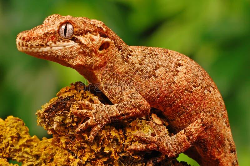 Gecko do Gargoyle fotografia de stock