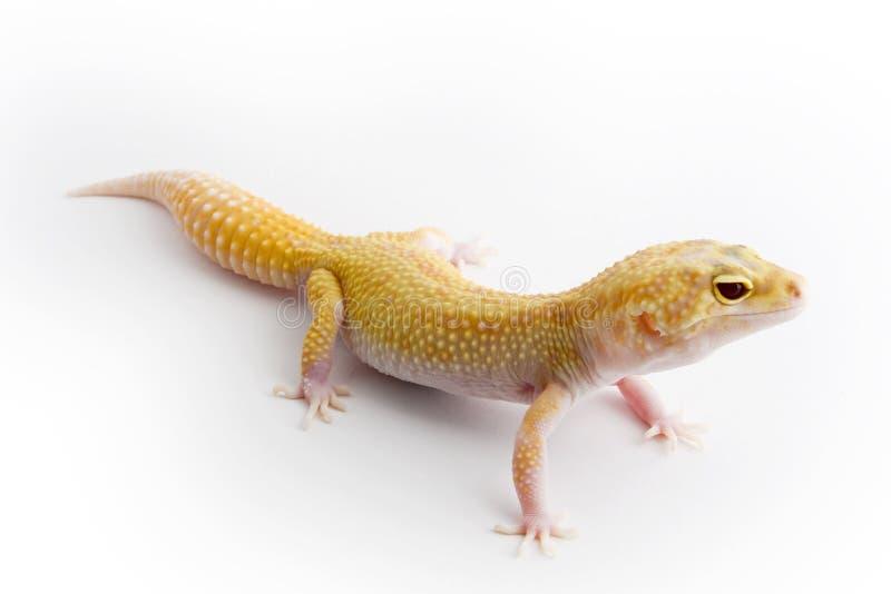 Gecko do leopardo foto de stock royalty free