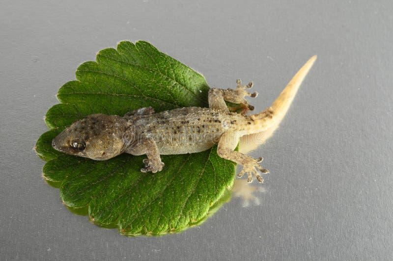 Gecko-Eidechse und Blatt stockbilder