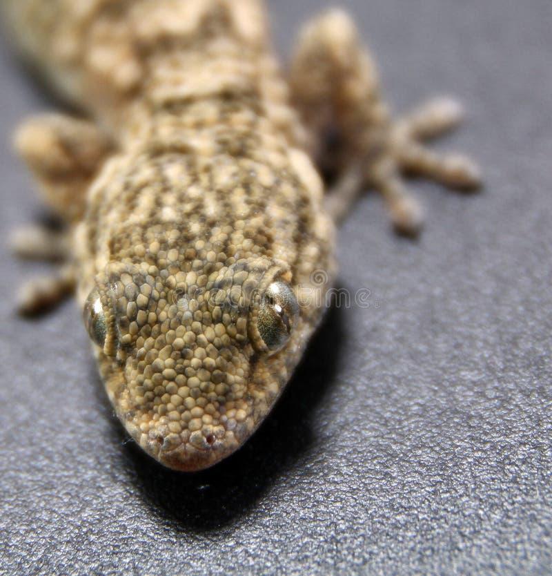 Gecko en un fondo oscuro fotografía de archivo libre de regalías