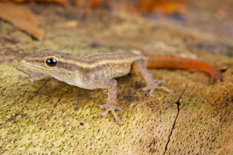 Gecko enano de Scheffler fotografía de archivo libre de regalías