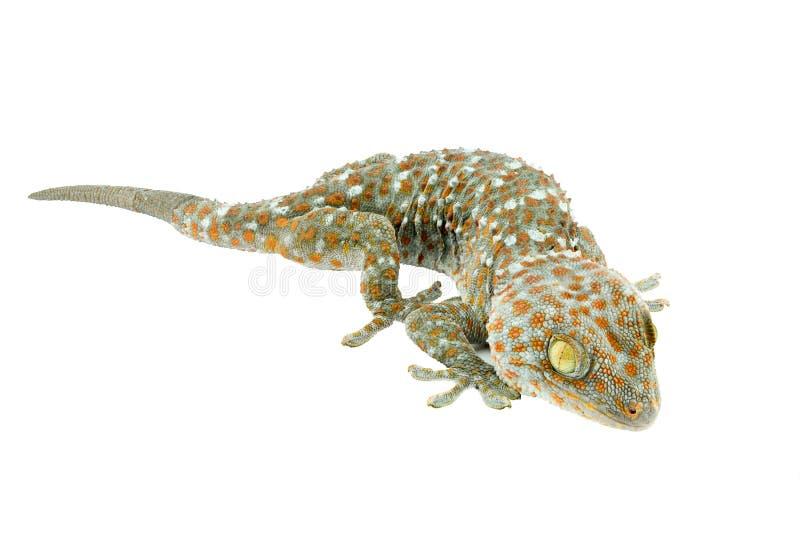 Gecko endormi Thaïlande sur le blanc images libres de droits