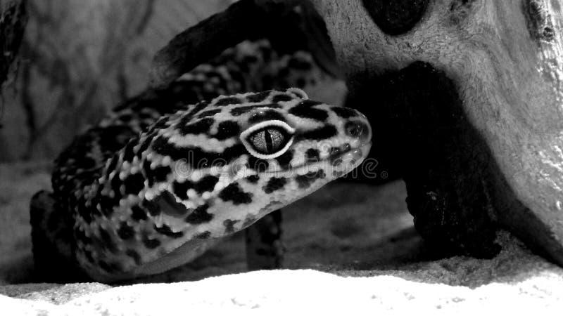 Gecko Eublepharis de lézard photo libre de droits