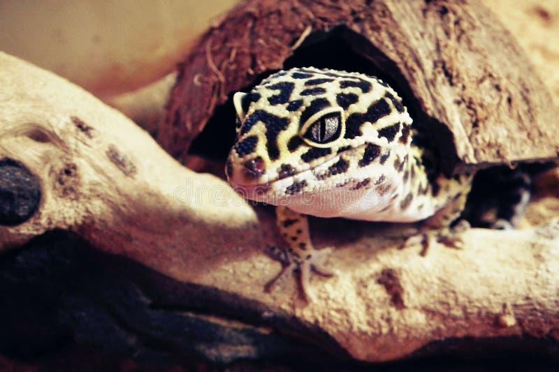 Gecko Eublepharis de lézard image libre de droits