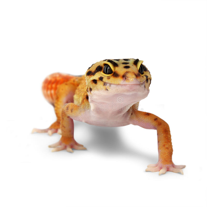 Gecko Eublepharis macularius. Leopard gecko Eublepharis macularius on white background royalty free stock photography