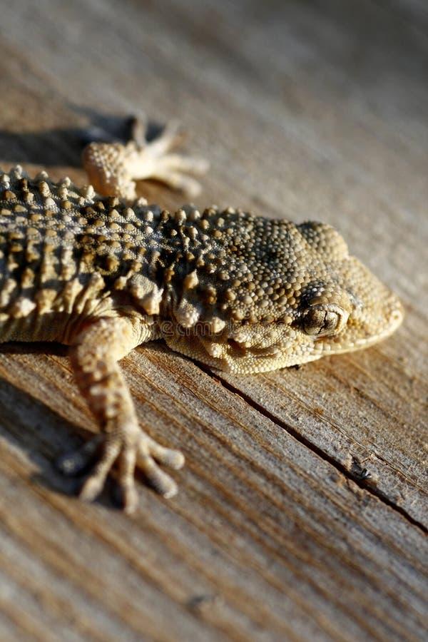 Gecko europeo fotografia stock libera da diritti