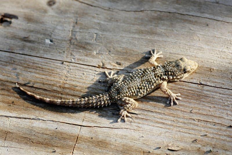 Gecko europeo immagini stock