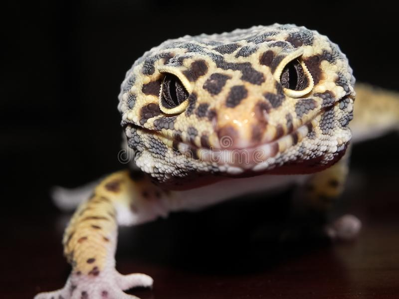 Leopard Gecko with Black and Yellow spots Approaching the Camera Close Up. Of Head and Eyes royalty free stock photos