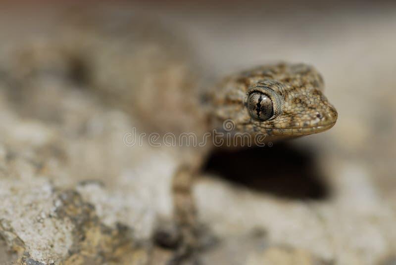 Download Gecko (Fam. Gekkonidae) In Azrou, Middle Atlas, Morocco Stock Image - Image: 33087821