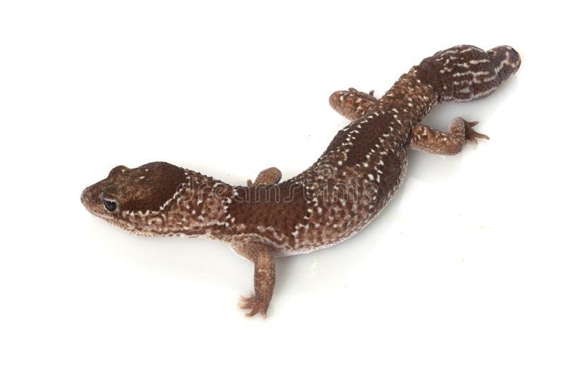 Gecko Fat-tailed africano da selva imagens de stock