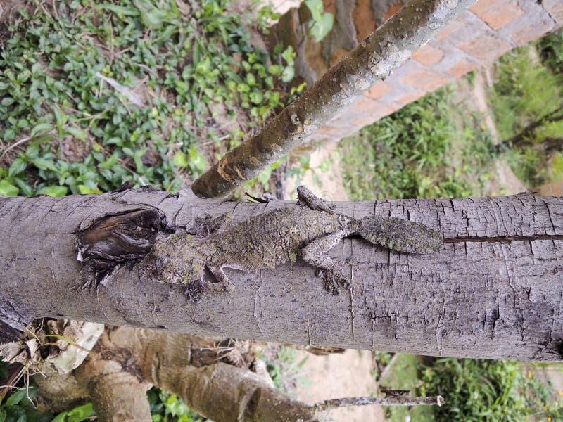 Gecko feuille-coupé la queue moussu (sikorae d'Uroplatus) camouflé photo libre de droits