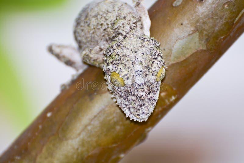 Gecko feuille-coupé la queue moussu (sikorae d'Uroplatus) camouflé photos stock