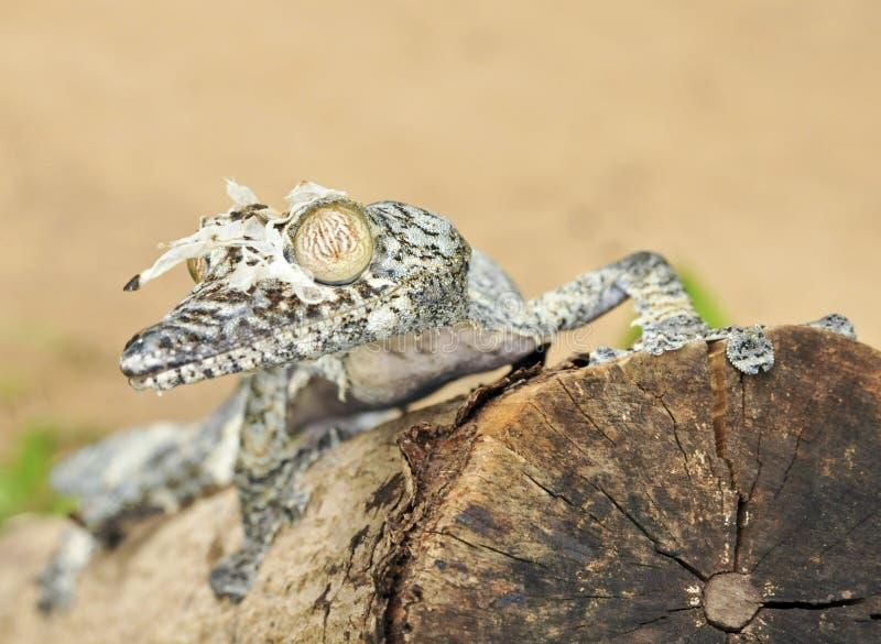 Gecko feuille-coupé la queue moussu (sikorae d'Uroplatus) camouflé photo stock