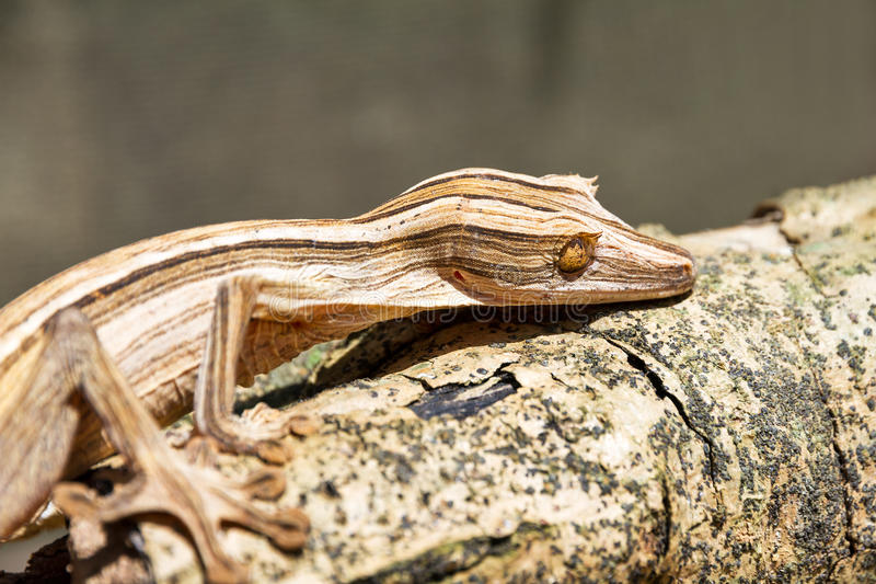 Gecko Feuille-coupé la queue rayé images libres de droits