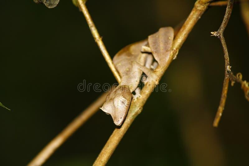 Gecko Feuille-coupé la queue satanique (phantasticus d'Uroplatus) dans Ranomafana photo libre de droits