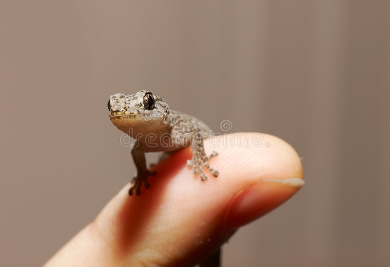 Gecko on finger. Looking at me? - gecko on a finger royalty free stock photo