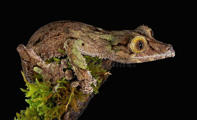 Gecko Fissare Fotografia Stock