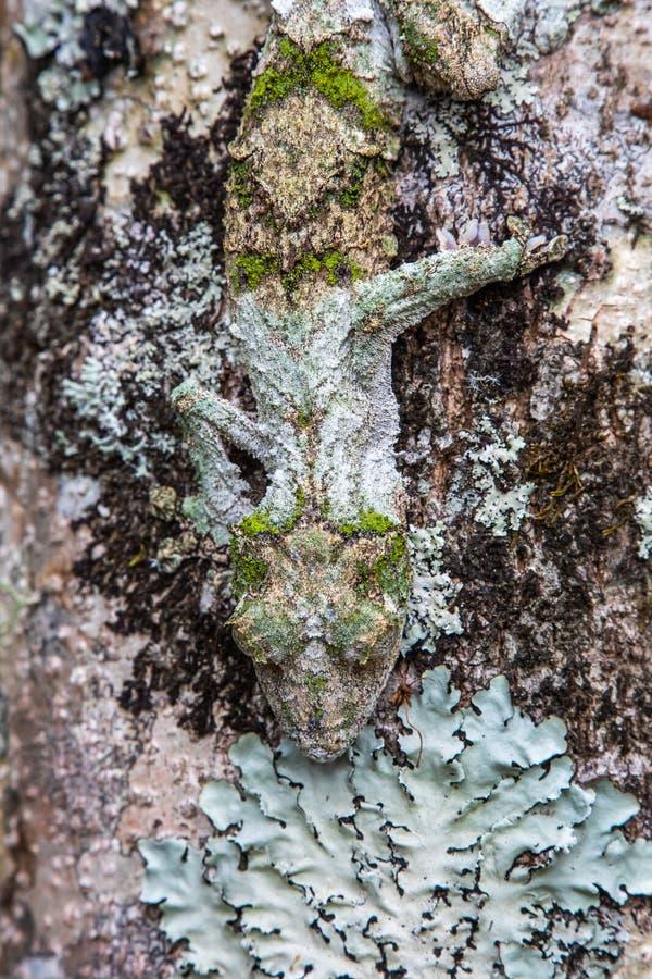 Gecko foglio-munito muscoso immagine stock