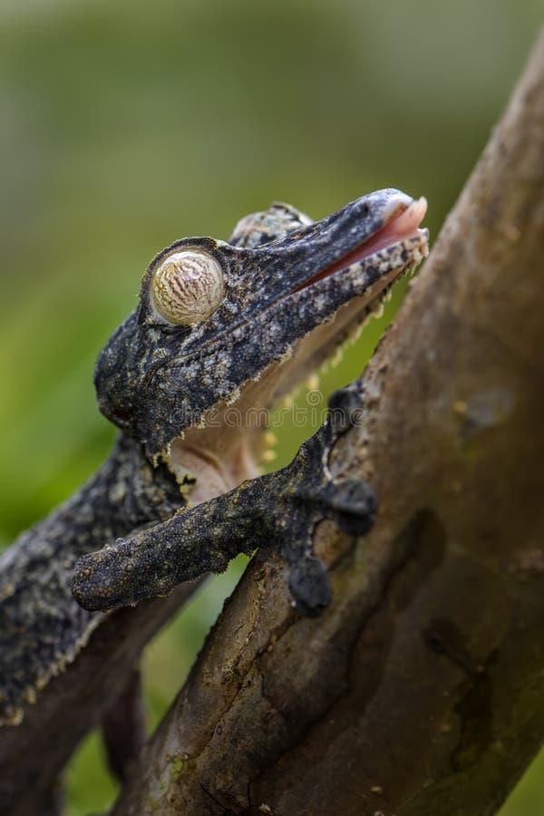 Gecko géant de Feuille-queue - fimbriatus d'Uroplatus photographie stock