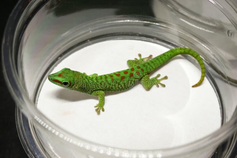 Gecko géant de jour du Madagascar à vendre photo libre de droits