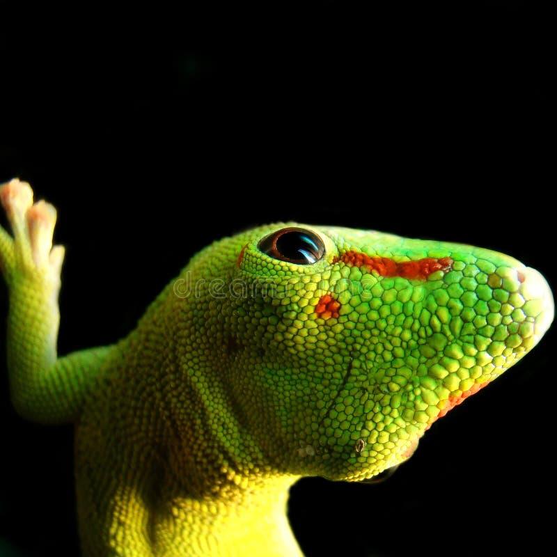 Gecko géant de jour du Madagascar image libre de droits