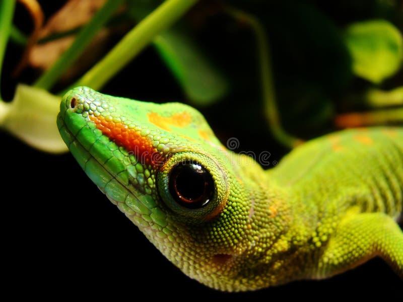 Gecko géant de jour du Madagascar photo stock