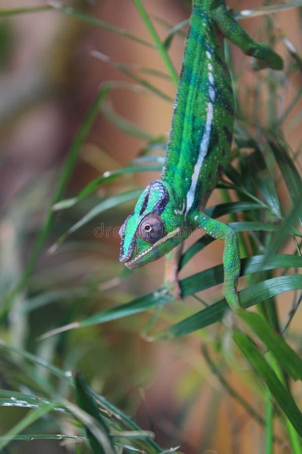 Gecko géant de jour du Madagascar photographie stock libre de droits