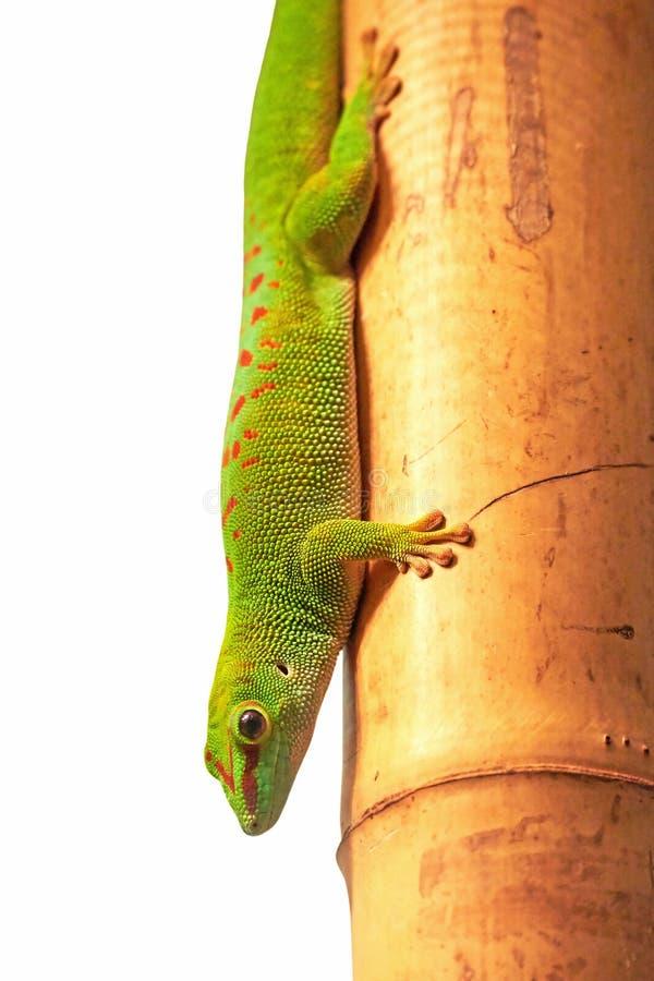 Gecko géant de jour du Madagascar (grandis de Phelsuma) photographie stock libre de droits