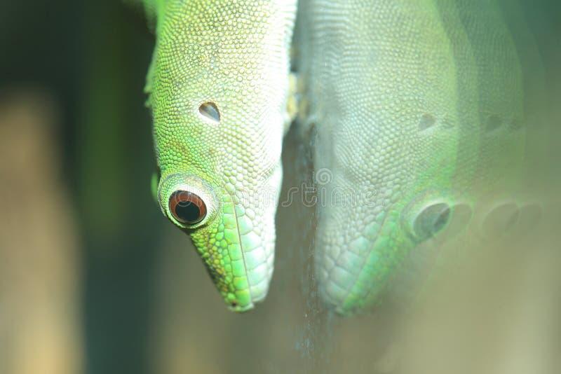 Gecko géant de jour de Koch photo libre de droits