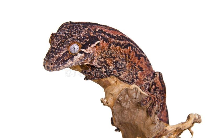 Gecko Gargoyle стоковые изображения