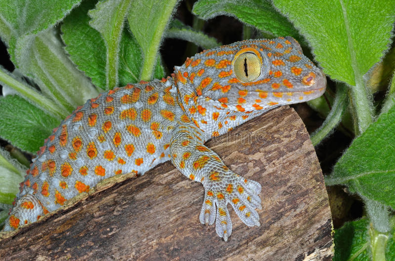Gecko Gekko de Tokay photographie stock libre de droits