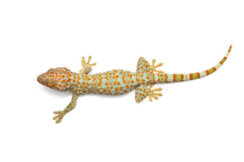 Gecko getrennt stockfotografie