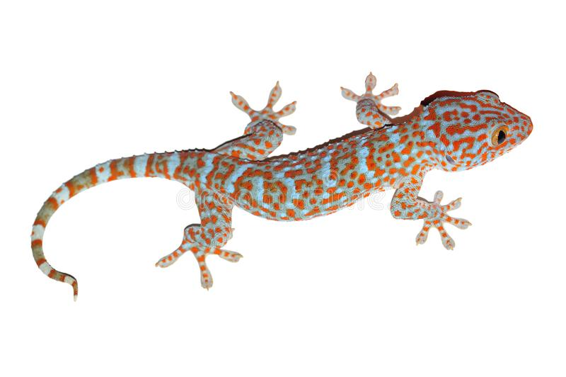 Gecko getrennt auf Weiß lizenzfreie stockfotografie
