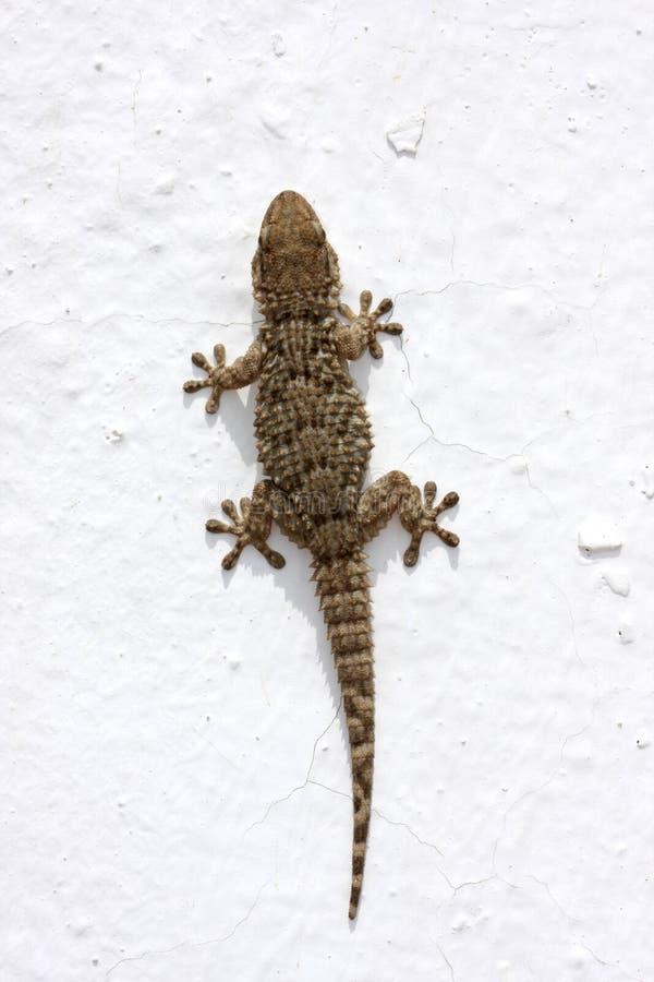 Gecko getrennt auf Weiß stockfotografie