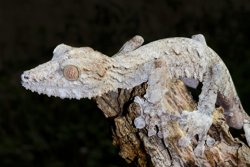 Gecko gigante della foglio-coda, marozevo fotografia stock
