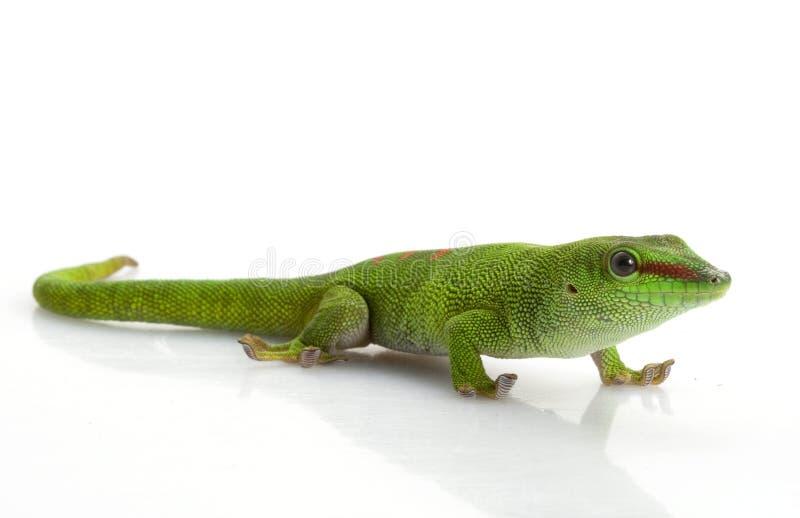Gecko gigante di giorno immagini stock