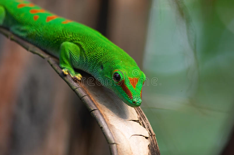 Gecko gigante do dia de Madagascar imagem de stock royalty free