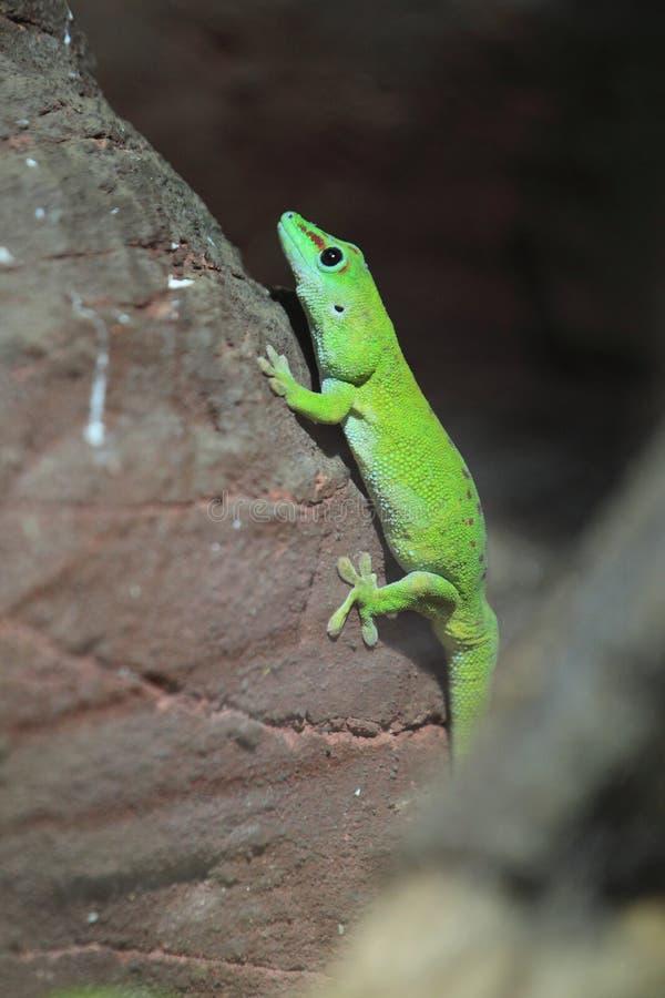 Gecko gigante do dia de Madagascar fotos de stock