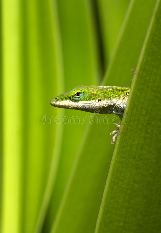 Gecko Green royalty free stock image