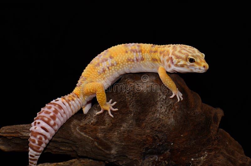 Gecko femenino del leopardo del albino de Tremper (macularius de Eublepharis) imagenes de archivo